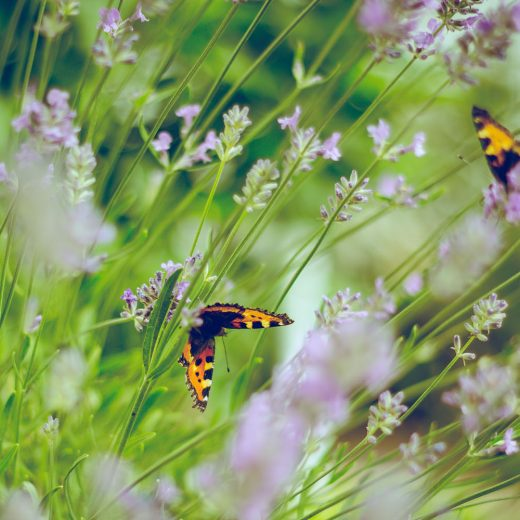 Farfalle sulla lavanda in fiore