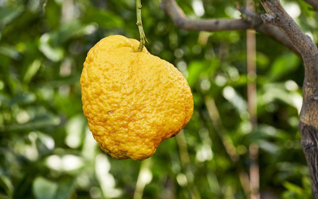 Una delle bizzarre specie di limoni nel Giardino degli Agrumi.