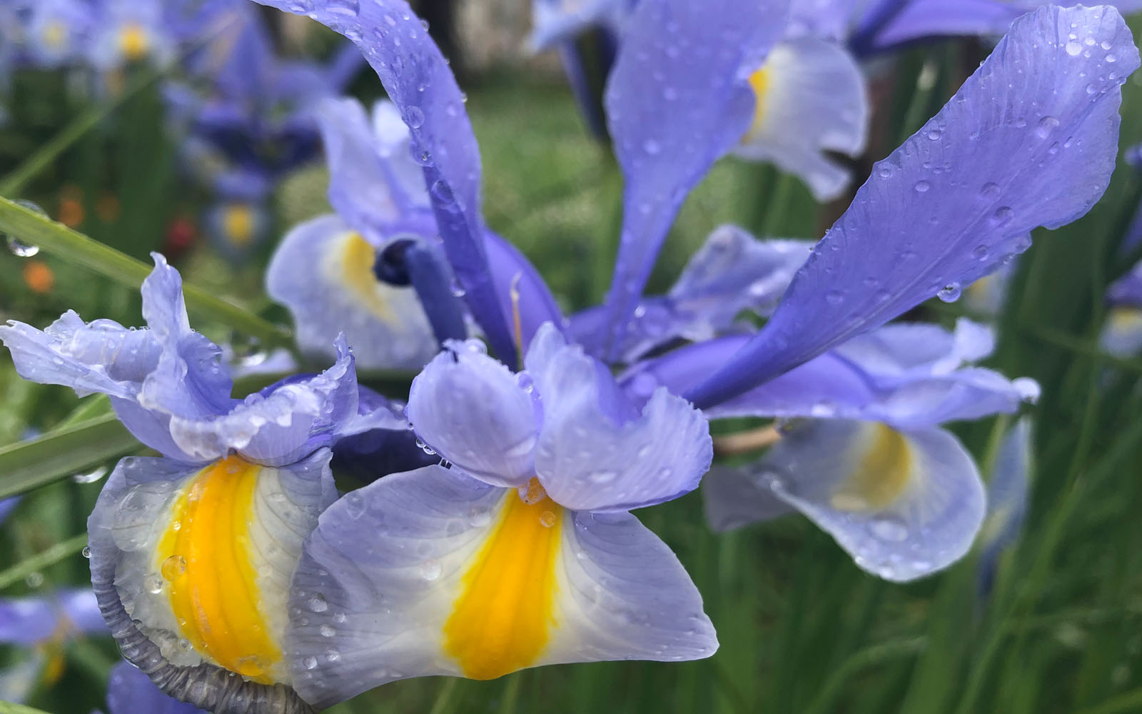 Iris in fiore, ammirati nella passeggiata che collega Pirano a Portorose.