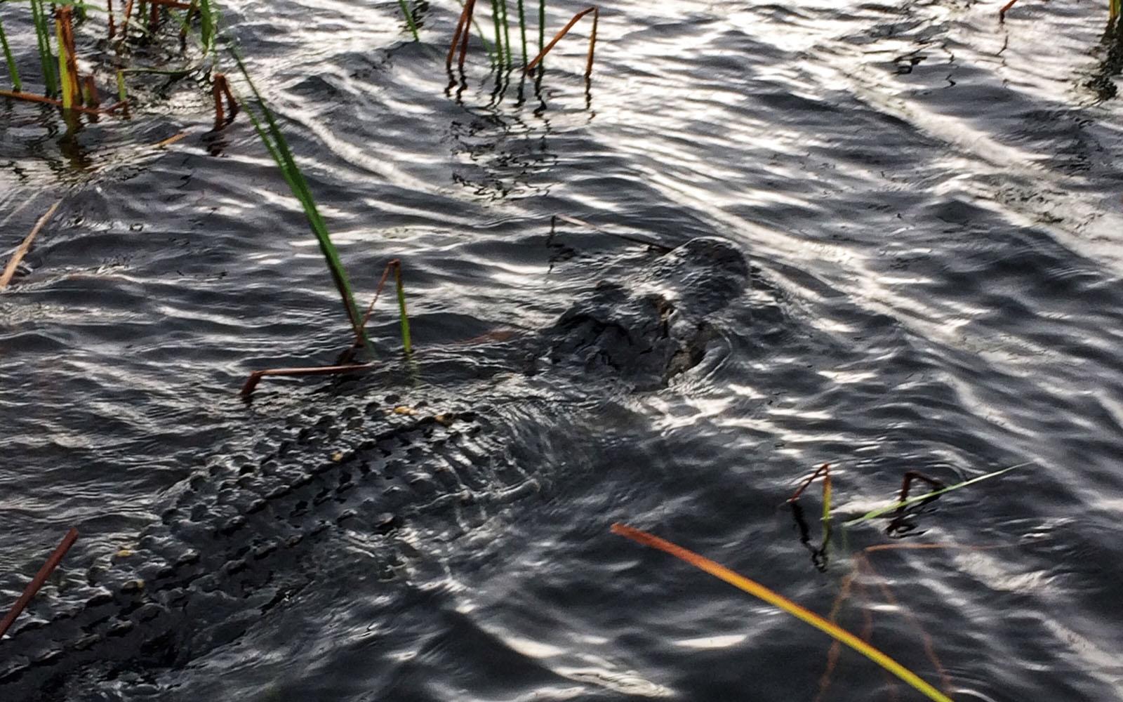 Uno dei molteplici coccodrilli che popolano le Everglades.