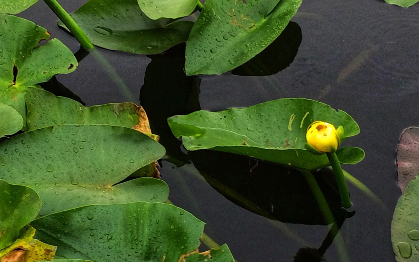 Una ninfea giallo in procinto di sbocciare nel Parco delle Everglades.