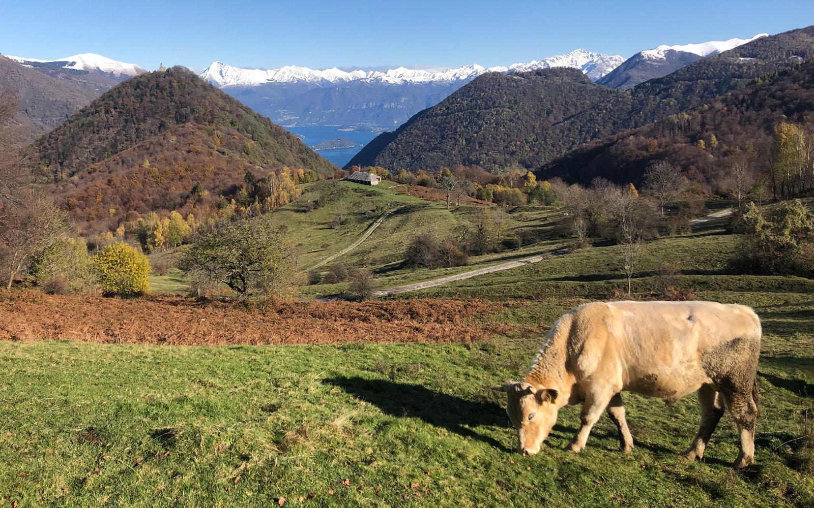 Una mucca al pascolo in Valle Intelvi. © oltreilbalcone