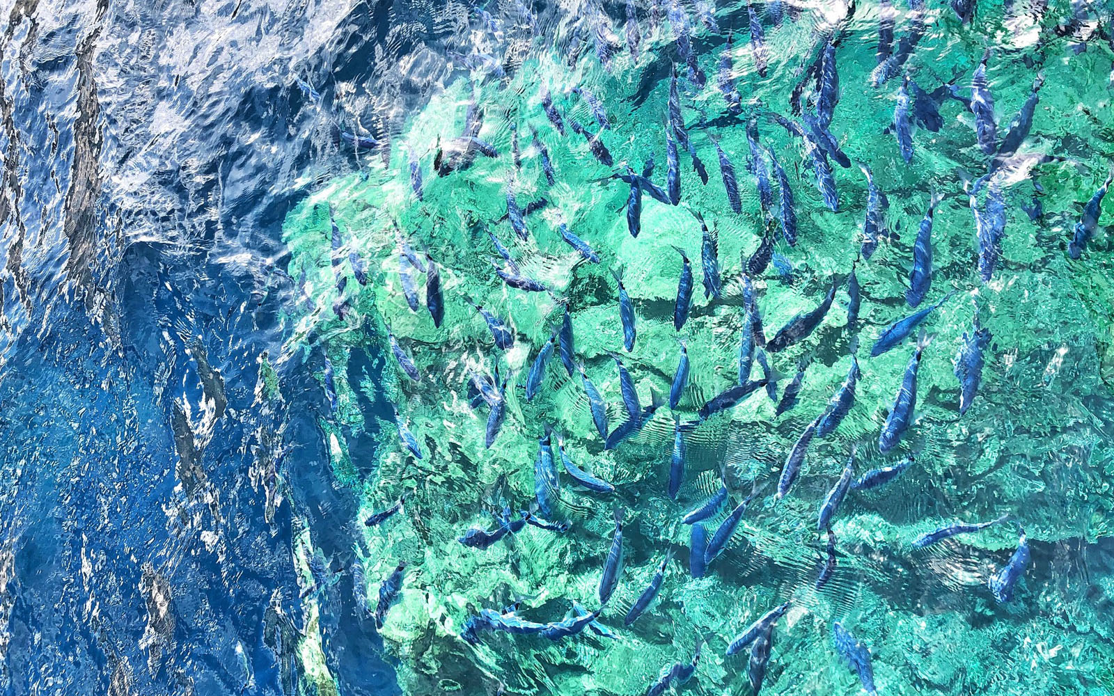 I pesci azzurrissimi che popolano le Bocche di Bonifacio. © oltreilbalcone
