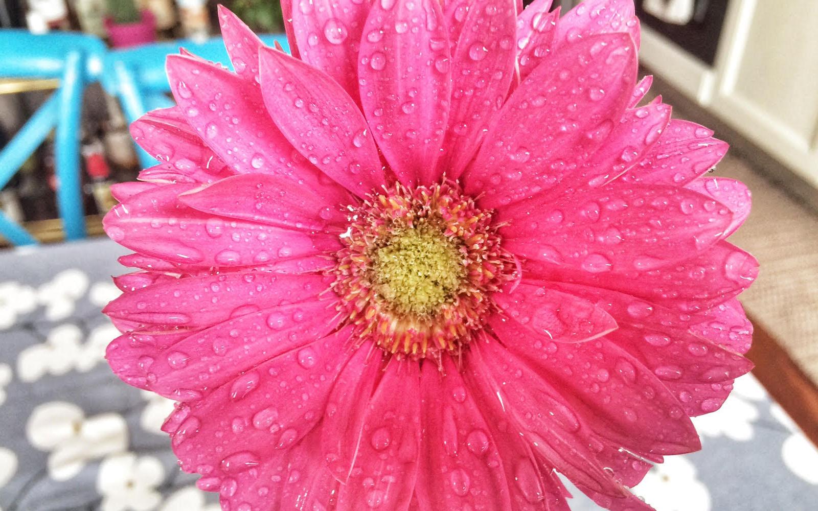 Un fiore della mia pianta di gerbera. © oltreilbalcone
