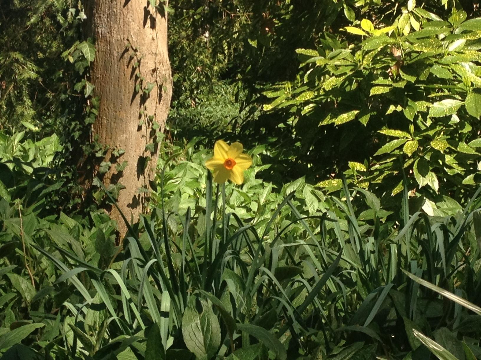 Un narciso fa capolino dal boschetto inglese di Villa Pisani.