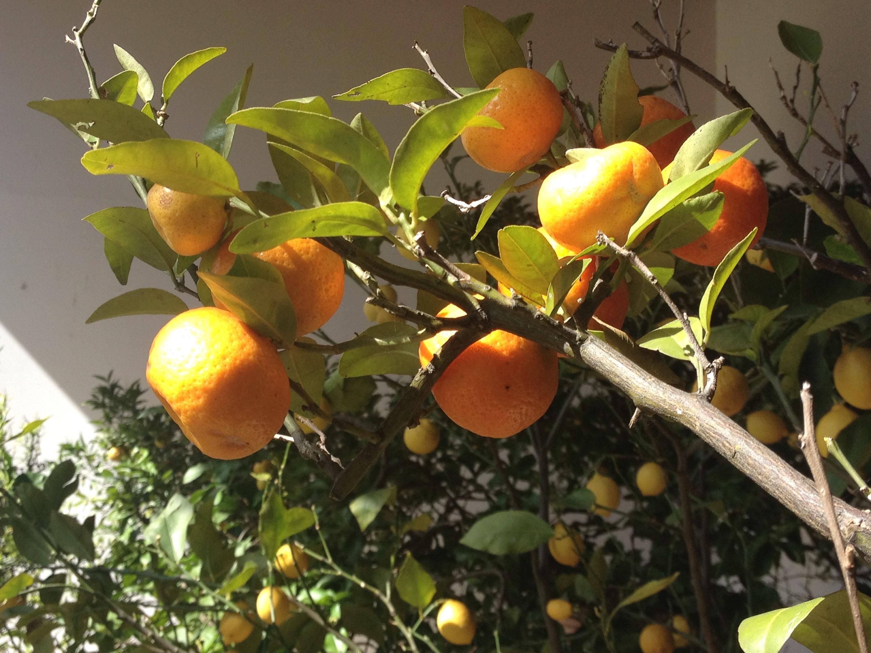 Uno dei numerosi aranci della villa.