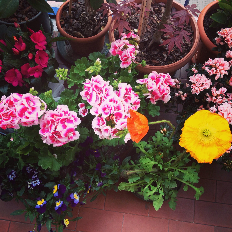 I miei acquisti di qualche anno fa alla Festa dei Fiori, tra papaveri, violette, gerani en garofanini.