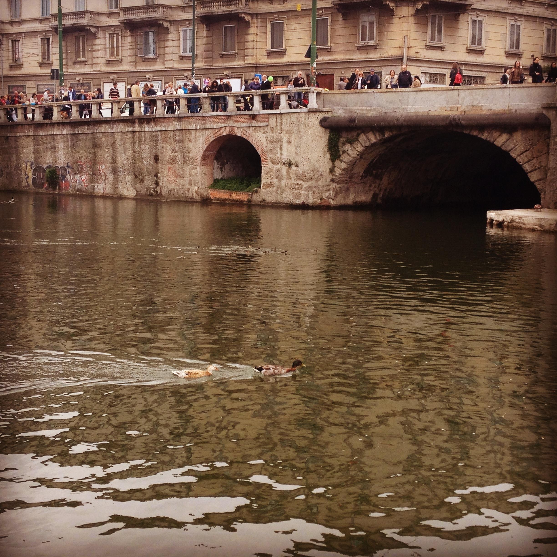 Papere che nuotano nella nuova Darsena @oltreilbalcone.