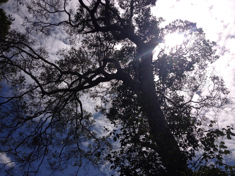 Un albero della foresta Arabuko-Sokoke. © oltreilbalcone