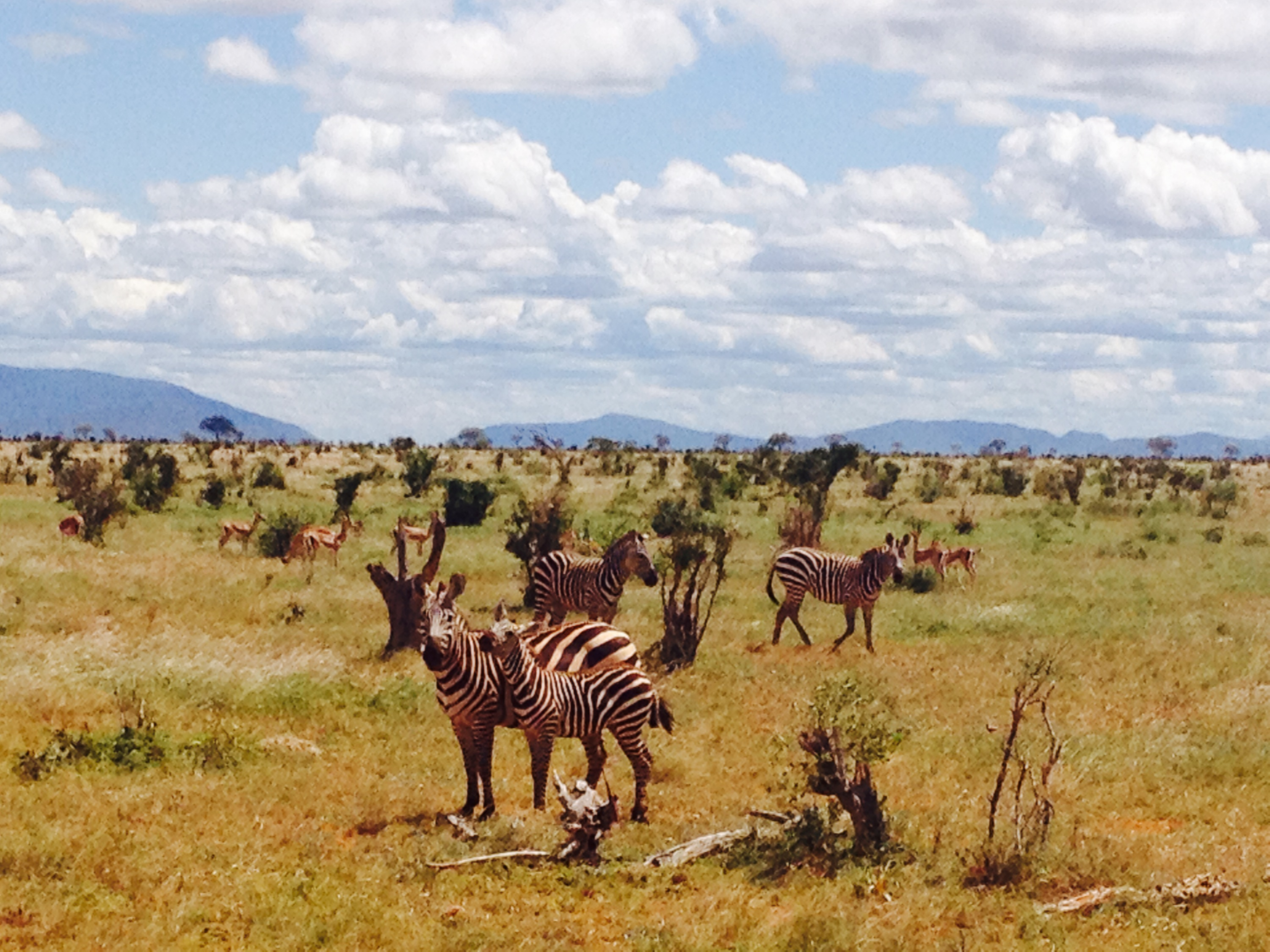 Zebre in Kenya.