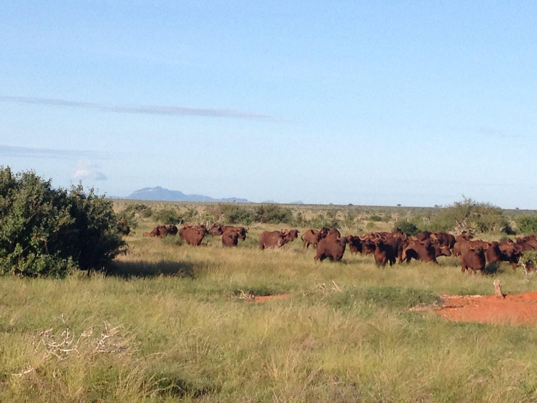 Una mandria di bufali nello Tsavo.