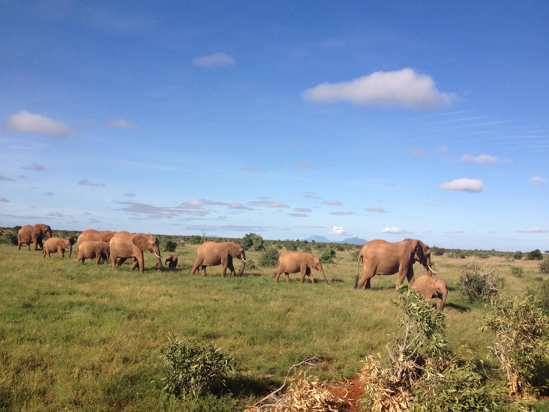 Un gruppo di elefanti nello Tsavo National Park, in Kenya.