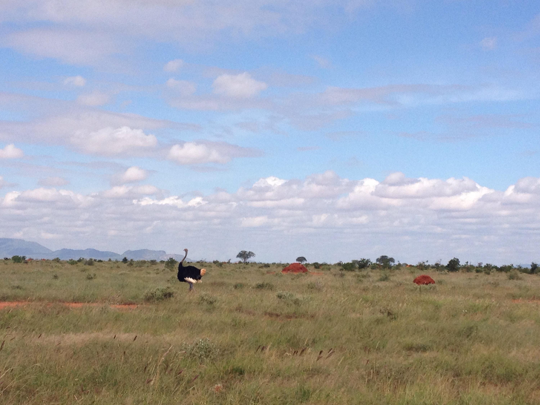 Uno struzzo nel Parco Nazionale dello Tsavo.