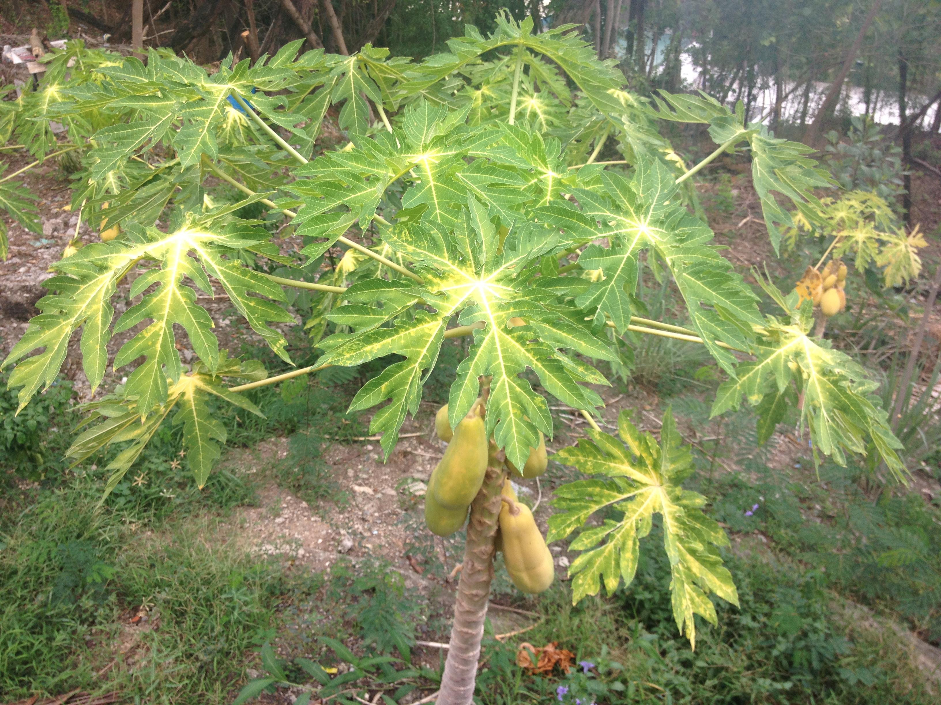albero di mango @oltreilbalcone