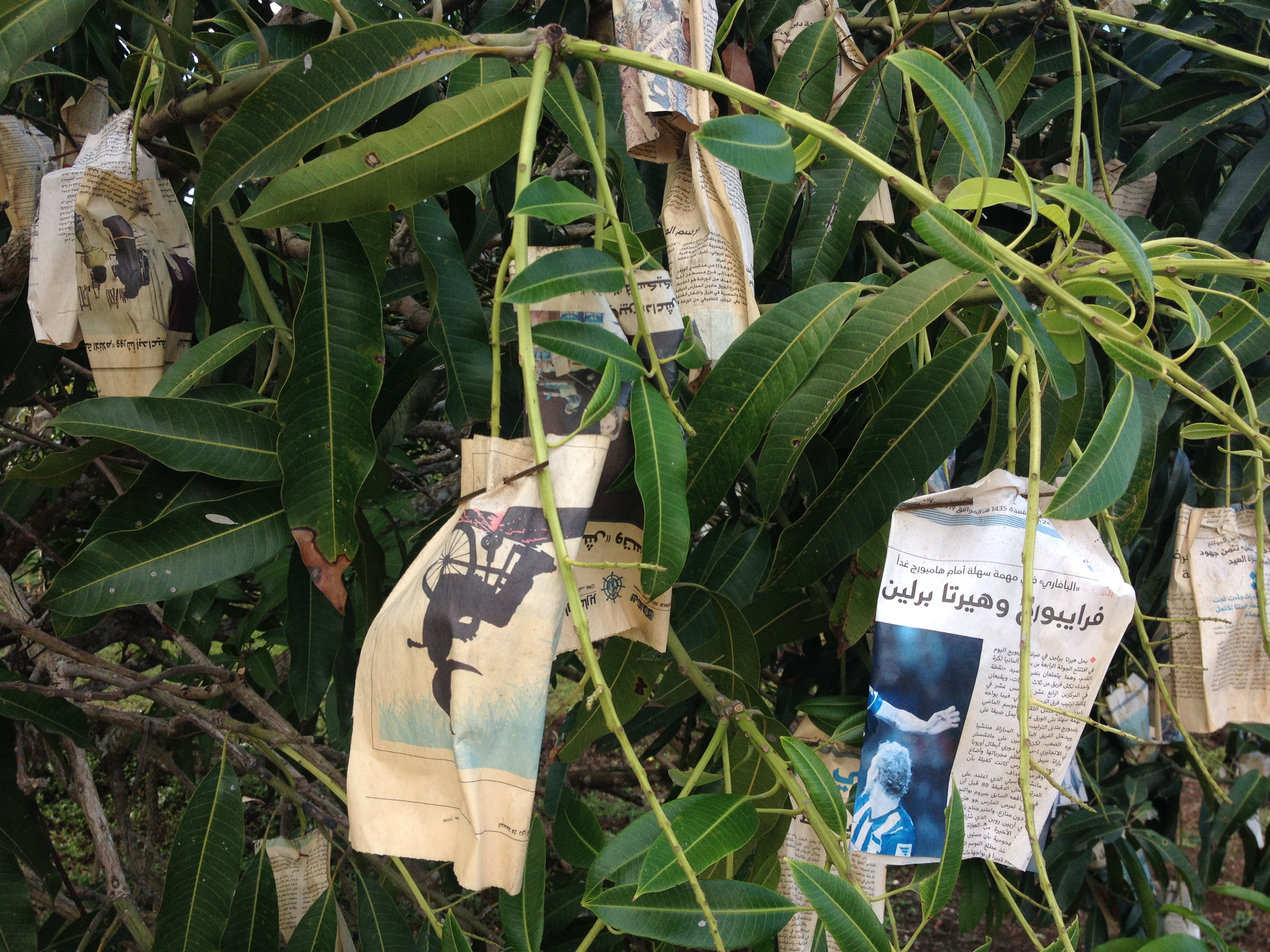 alberi di mango @oltreilbalcone