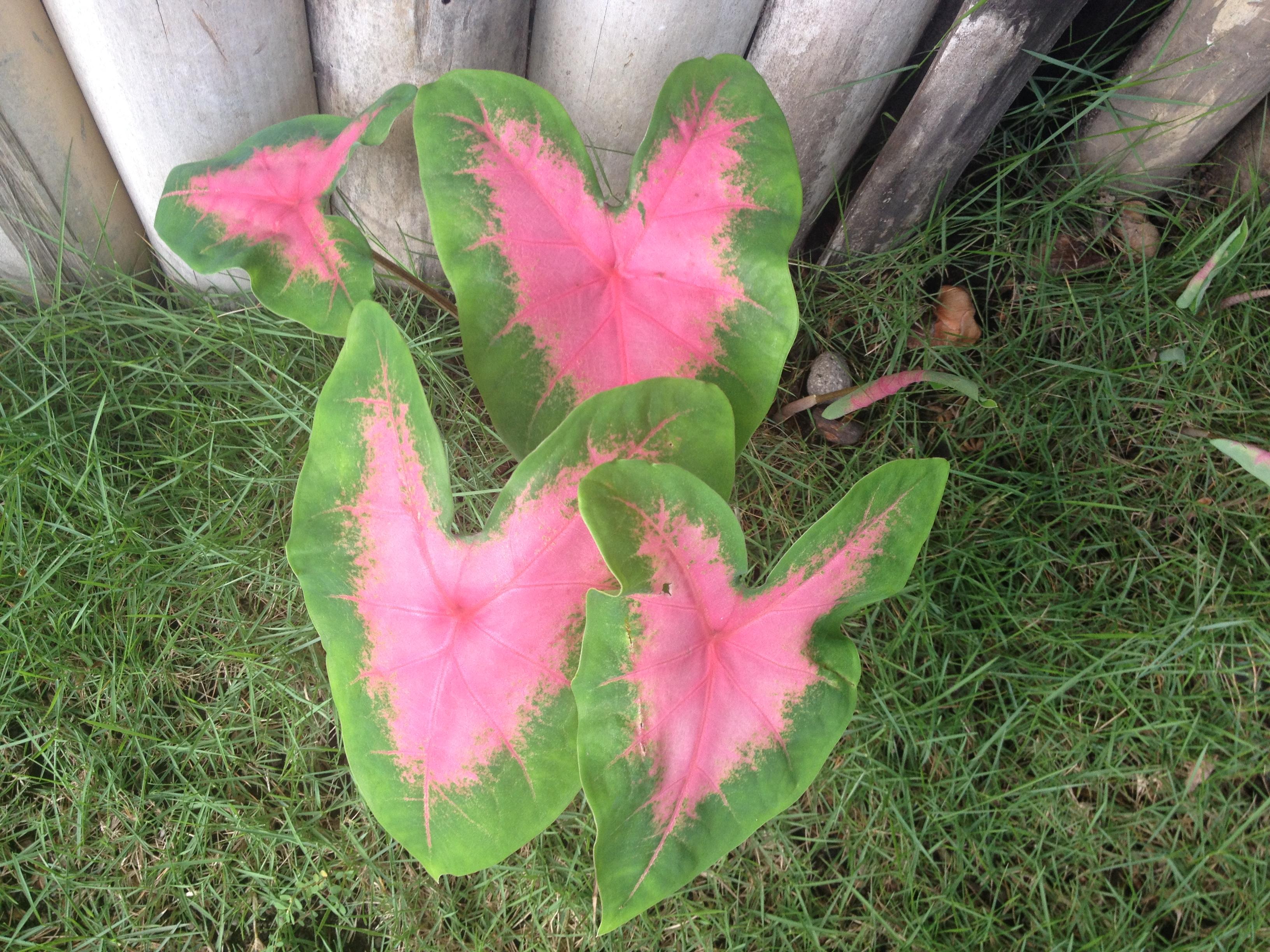 Gabi gabi, la pianta a forma di cuore.