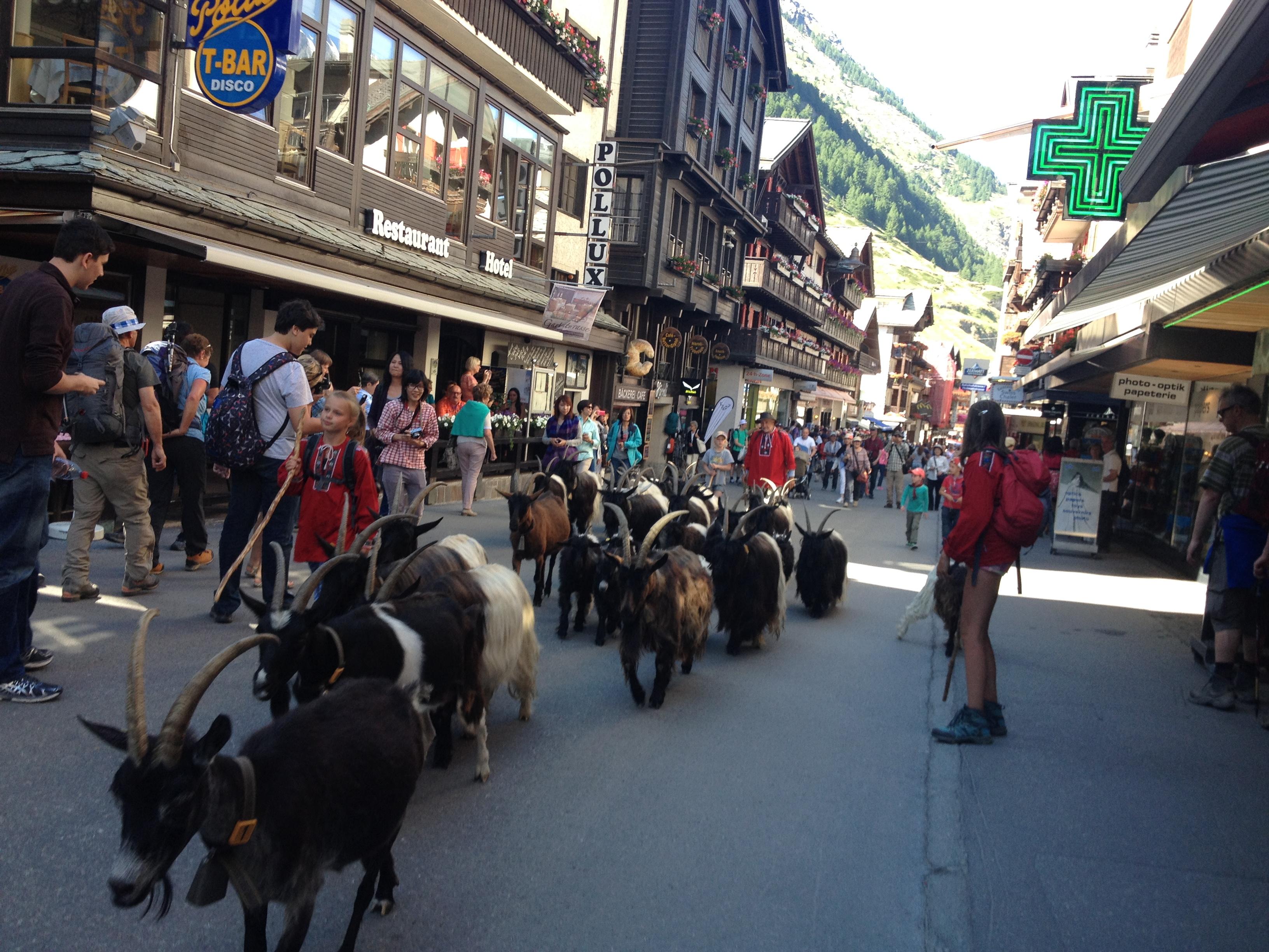 capre dal collo nero, Zermatt @oltreilbalcone